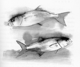 Bluefish drawing from the book