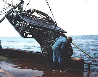 A clam dredge coming onboard