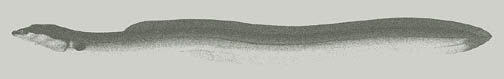 Image of an American Eel